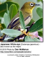 Mejiro (white eye)